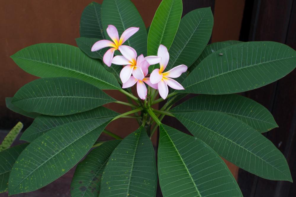 Plumeria rubra / IPlantz