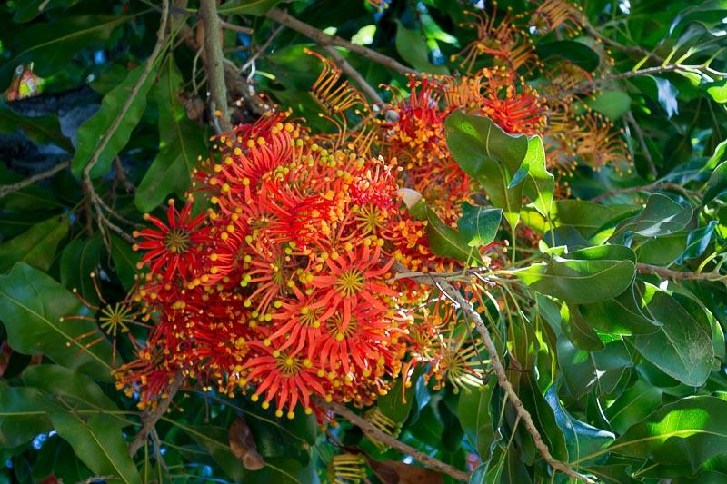 Stenocarpus sinuatus / IPlantz