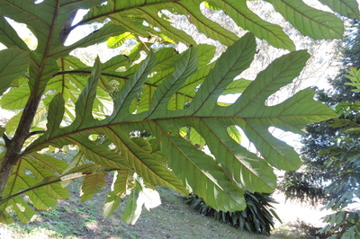 Athertonia diversifolia