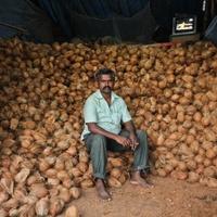Cocos nucifera