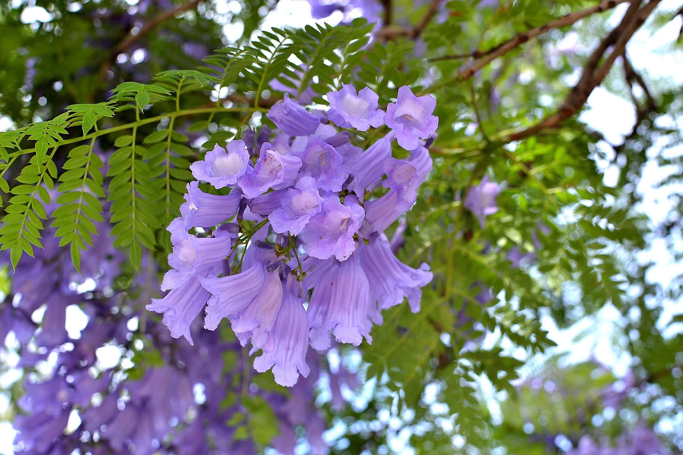 Jacaranda Mimosifolia Iplantz